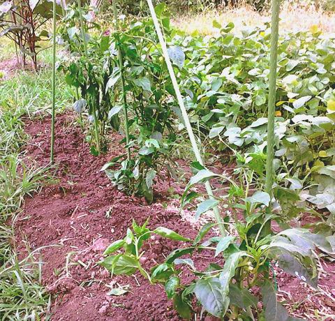 日曜農業20120722b.jpg